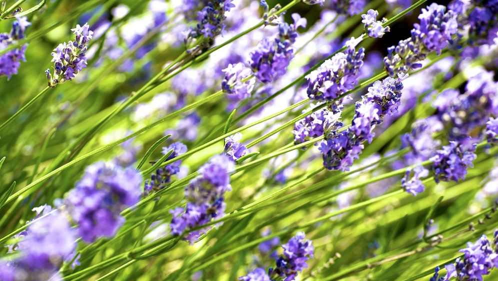 Lavendelheide: Immergrüne Laubhecke - Bildquelle: Pixabay.com