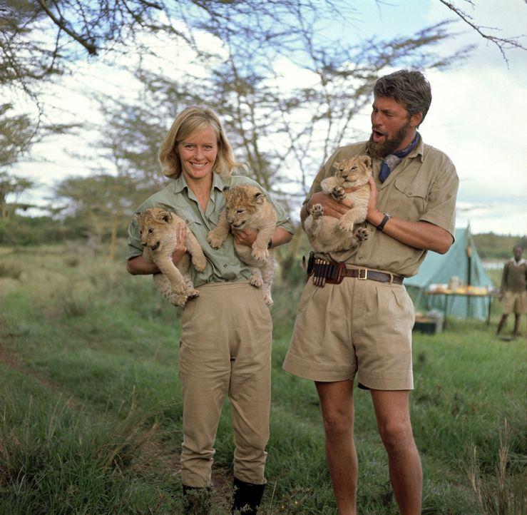 Wildhüter George Adamson (Bill Travers, r.) zieht zusammen mit seiner Frau Joy (Virginia McKenna, l.) drei Löwenbabys mit der Flasche groß, doch... - Bildquelle: 1965, renewed 1993 Columbia Pictures Industries, Inc. All Rights Reserved.