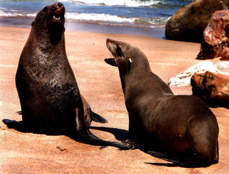 Die Küste Südafrikas ist die Heimat vieler aufregender und gefährlicher Tierarten, doch auch die possierlichen Seelöwen sind hier zu Hause ... - Bildquelle: Aaron Dexter AARON DEXTER