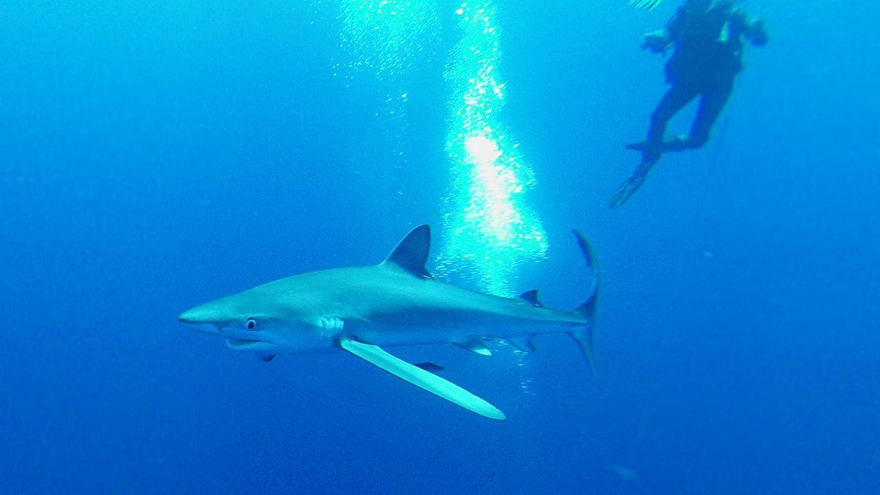 Blauhai - Bildquelle: dpa/tmn