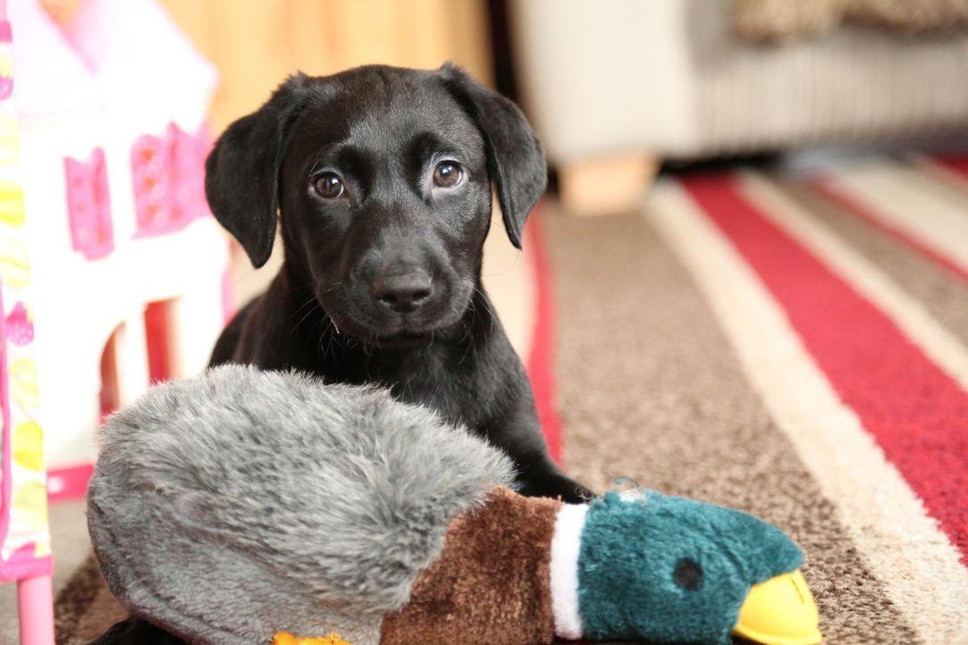 Labradorwelpe Hunter sollte man nie allein zu Hause lassen ...