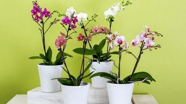 Bauernorchideen