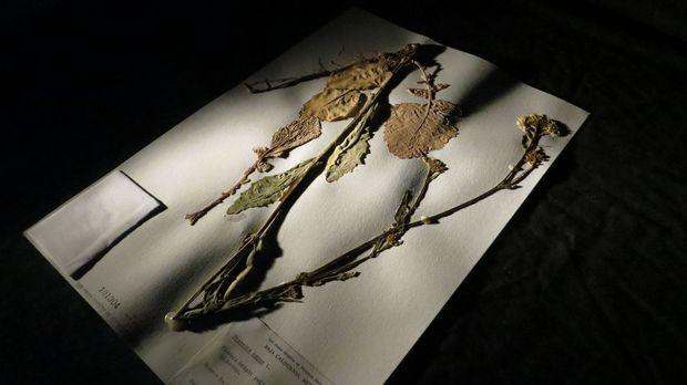 Macht sich daran, eine mysteriöse Pflanze zu studieren: Don Wildman ... © 201...