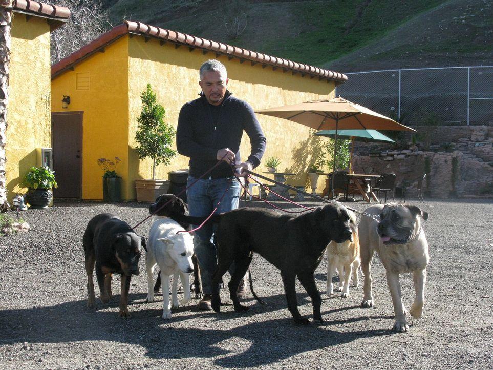 (6. Staffel) - Egal ob Bello, Fiffi oder Wuffi, Cesar Millan hat für jeden Vierbeiner die passende Lösung parat. Der Hundeprofi ist momentan der ber... - Bildquelle: Rive Gauche Intern. Television