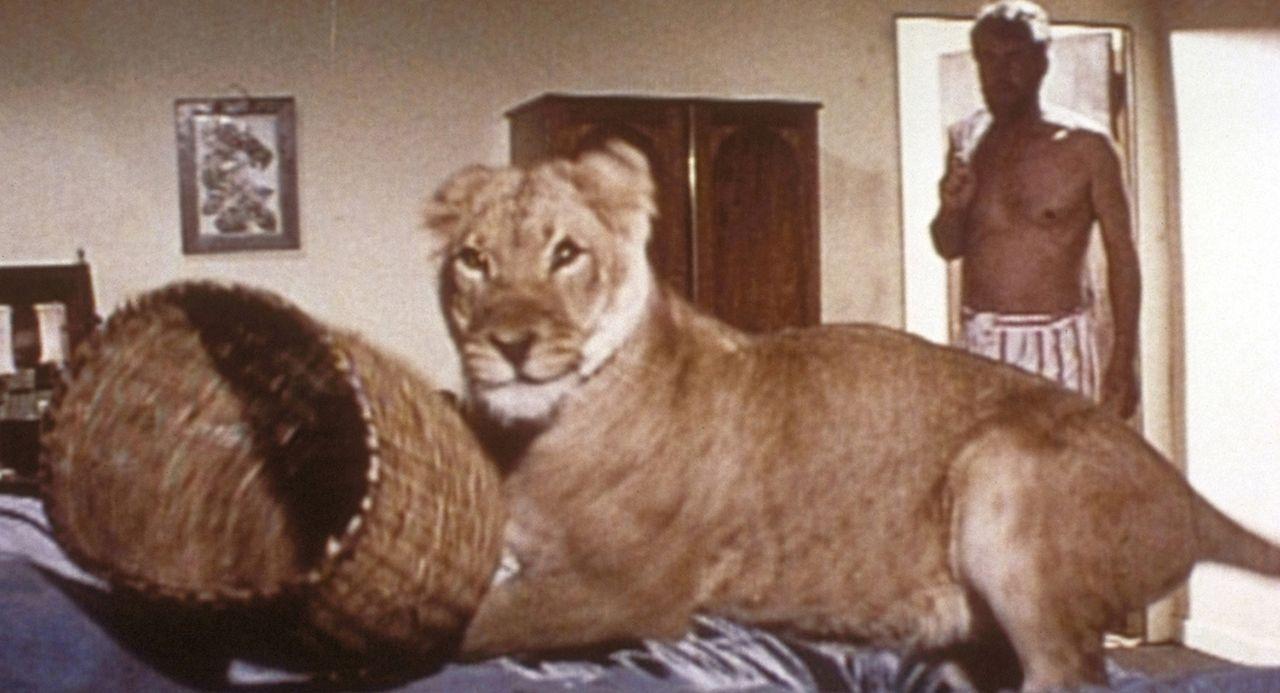 Mit Elsa wird es dem Wildheger George (Bill Travers, r.) nie langweilig, denn die Löwin ist immer für eine Überraschung gut ... - Bildquelle: 1965, renewed 1993 Columbia Pictures Industries, Inc. All Rights Reserved.