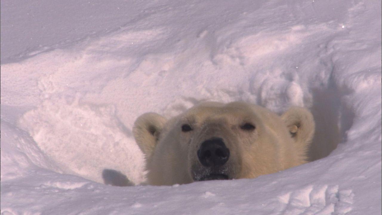 Erste Sonnenstrahlen fallen in das Winterquartier des Eisbären. Nun heißt es aber ganz schnell wach werden und sich einen dicken Bauch anfuttern,... - Bildquelle: Earth   BBC Worldwide Ltd 2007