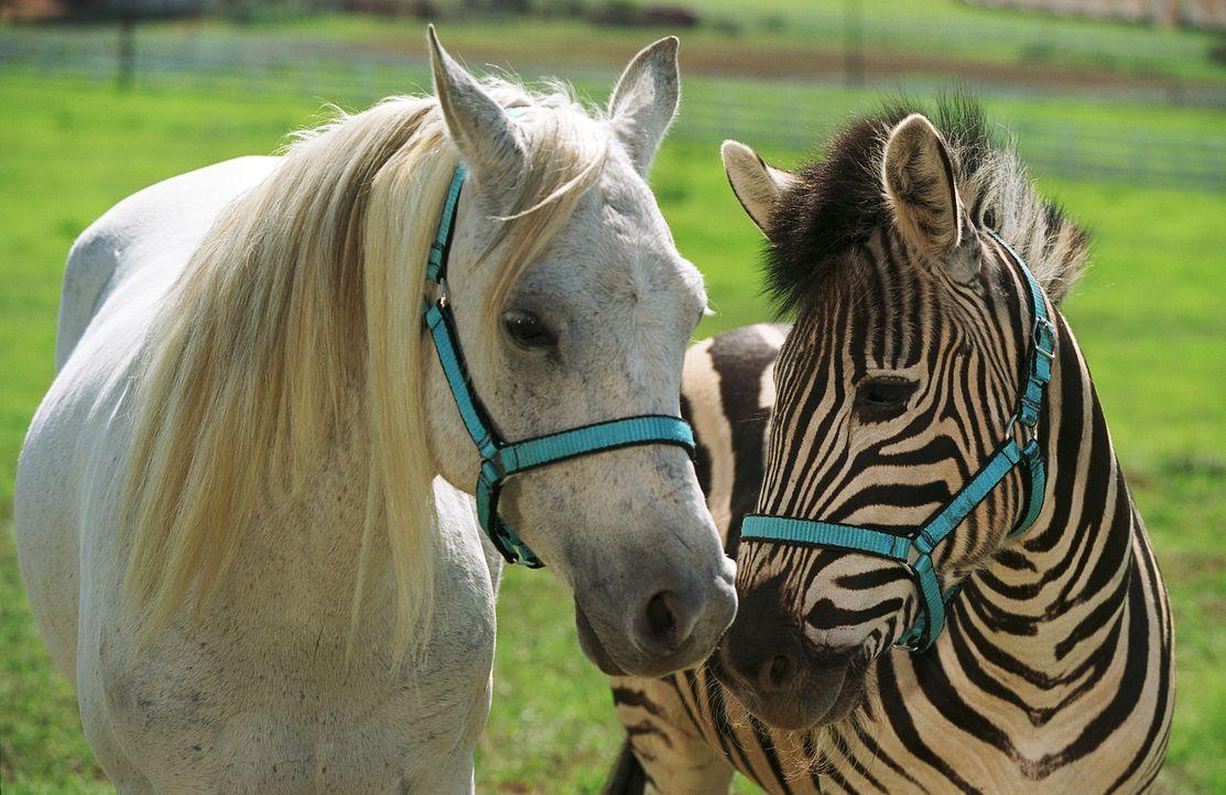 Anfangs ist das Leben auf der Farm zwischen Ponys und Ziegen, Hähnen und Hunden gar nicht so einfach für Stripes (r.) - Vor allem nicht, wenn das... - Bildquelle: Constantin Film