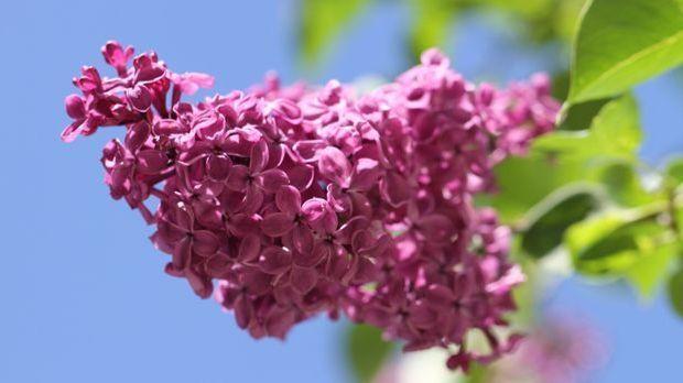 Flieder-pink-Pflanze-pixabay