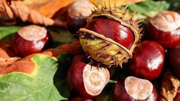 chestnut-1710788_1280