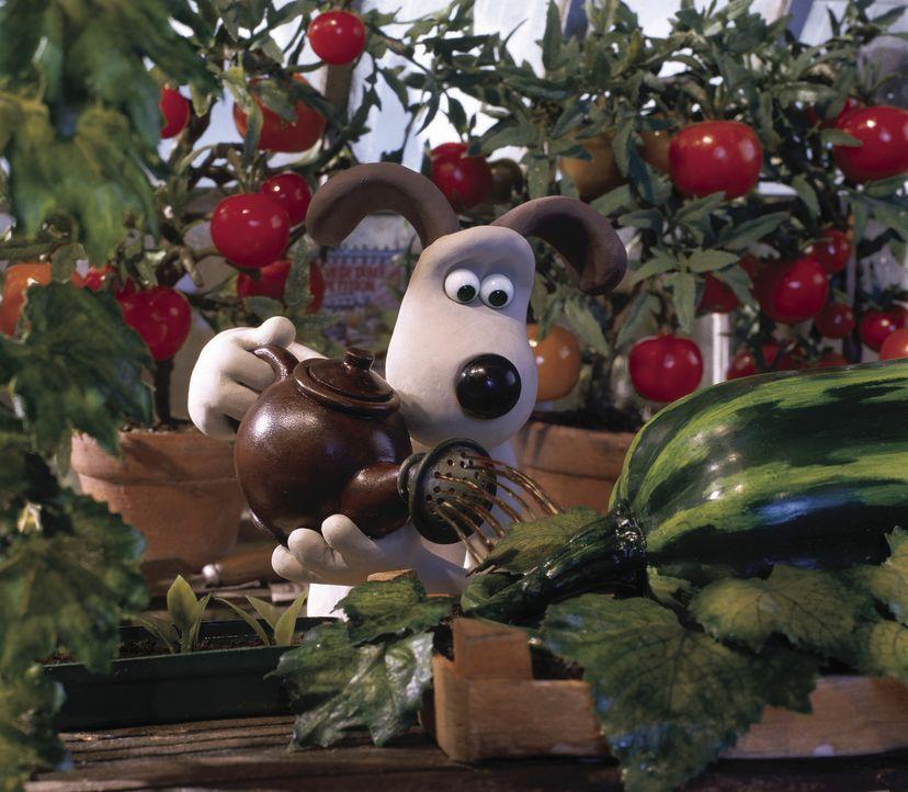 Der jährliche Gemüsewettbewerb steht kurz vor der Tür und Gromit legt sich mächtig ins Zeug, denn schließlich möchte er gerne die Goldene Mohr... - Bildquelle: Telepool GmbH