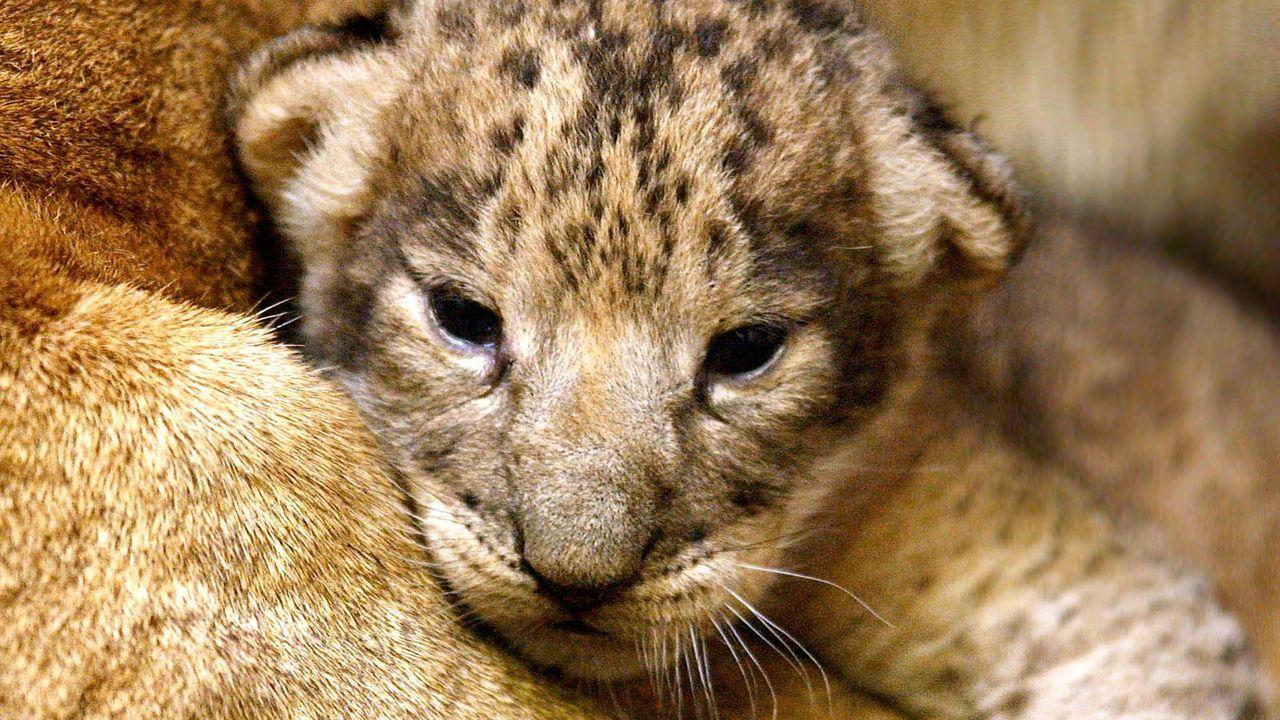Löwenbaby5 - Bildquelle: dpa