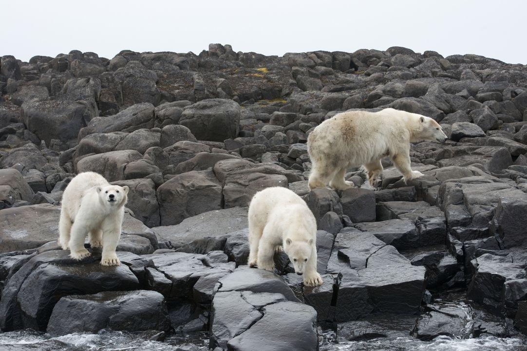 Kameramann Gordon Buchanan gewährt ganz besondere Einblicke in das Leben einer wilden Eisbärenfamilie ... - Bildquelle: Gordon Buchanan