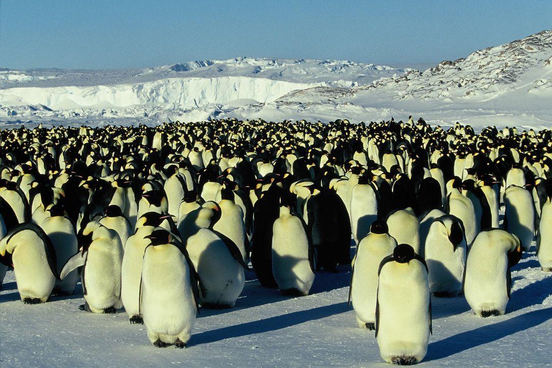 Wenn es Winter wird in der gnadenlosen Eiswüste der Antarktis, einer der unwirtlichsten Gegenden des Planeten, nimmt eine bemerkenswerte Reise ihren... - Bildquelle: Kinowelt Filmverleih