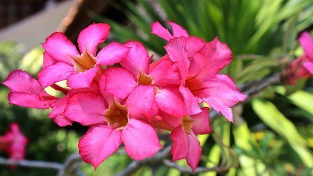 Die schönen Blüten der Wüstenrose sind ein echter Blickfang – und das auch fe...