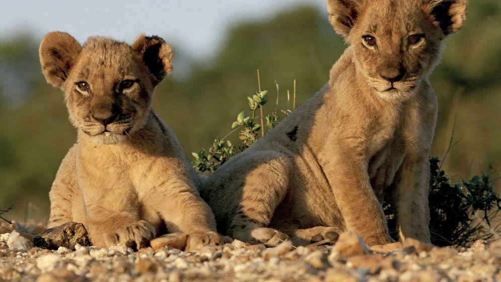 pride das gesetz der savanne