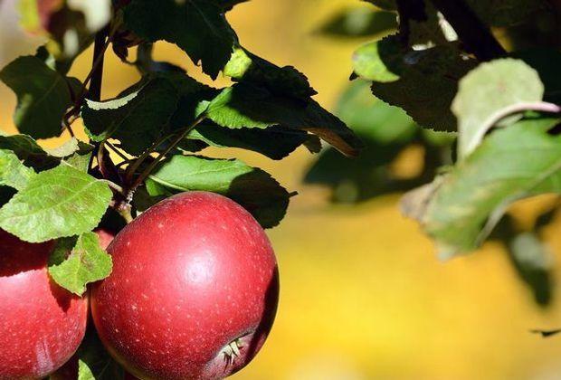 ObstbaumPflanzen