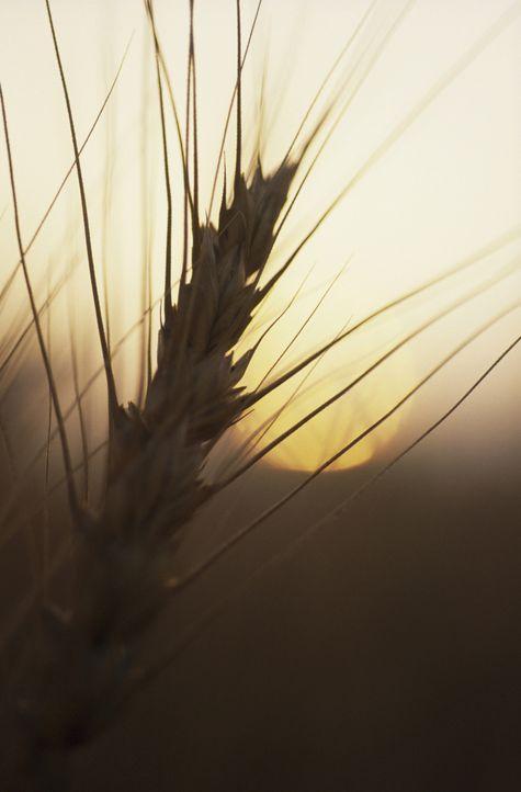"""Weizen zählt zu den wichtigsten Lebensmitteln der Welt und dient in vielen Ländern als Grundnahrungsmittel. """"Moderne Wunder"""" zeigt, dass man aus Wei... - Bildquelle: Courtesy Actuality Productions"""