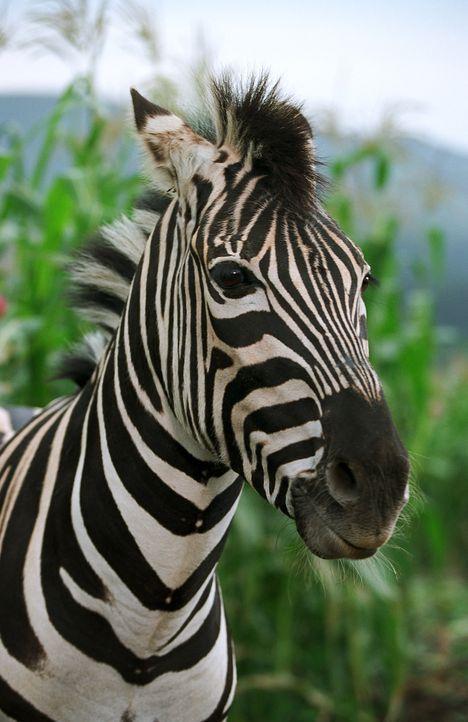 Das verwaiste Zebra-Fohlen Stripes findet auf der Pferdefarm der Familie Walsh ein neues Zuhause und hat bald einen großen wie aberwitzigen Traum ... - Bildquelle: Constantin Film