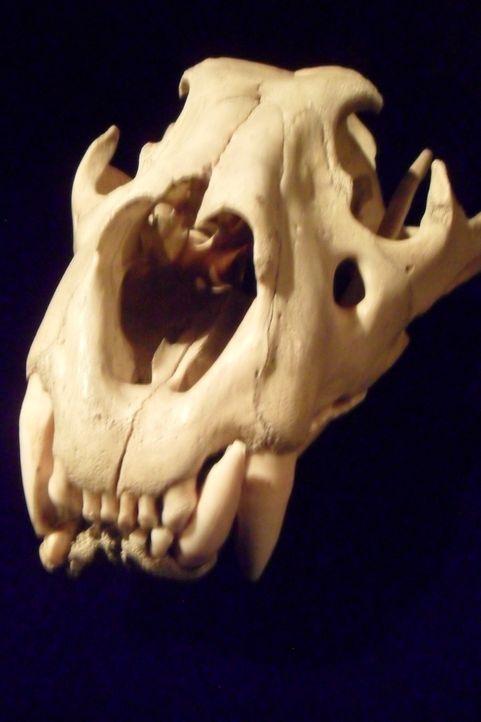 Was verrät dieses Skelett? Don Wildman blickt hinter die Geschichte dieses mysteriösen, menschenfressenden Biestes aus Afrika. - Bildquelle: 2012,The Travel Channel, L.L.C. All Rights Reserved