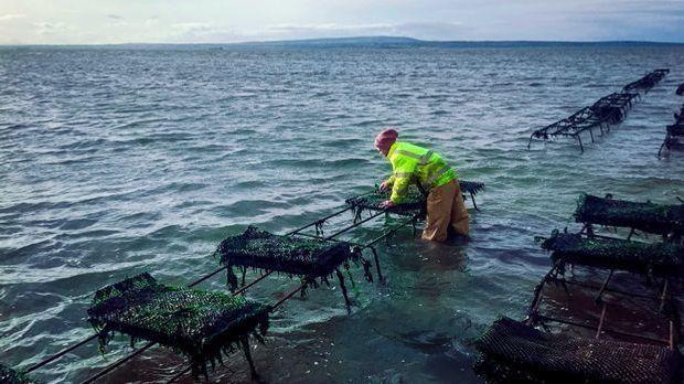 Einer der härtesten Jobs der Welt: Arbeit auf der Austernfarm in Irland