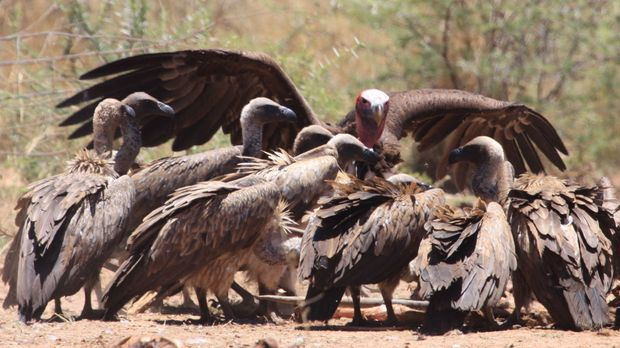 Gierig machen sich die Geier über einen Kadaver in Namibia her ... © Giles Ba...