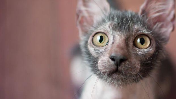 Galileo - Video - Die Züchter der Werwolf-Katzen - ProSieben