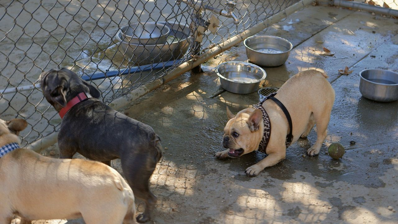 Die Bulldoge Bella greift alles und jeden an, der ihrem Frauchen zu nahe kommt ... - Bildquelle: NGC/ ITV Studios Ltd