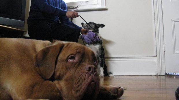 Cesar Millan macht sich auf den Weg nach Australien, um verzweifelten Hundebe...