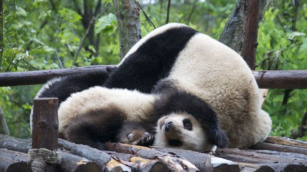 Panda-Syndrom Was ist das und was kann man dagegen tun1