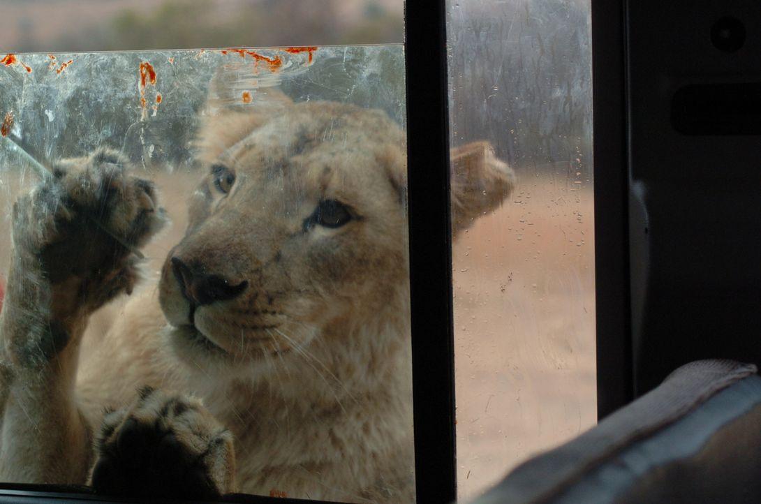 Umzingelt von Löwen und ohne Hoffnung auf Rettung beginnt ein gnadenloser Kampf ums Überleben für Amy und ihre Stiefkinder ...