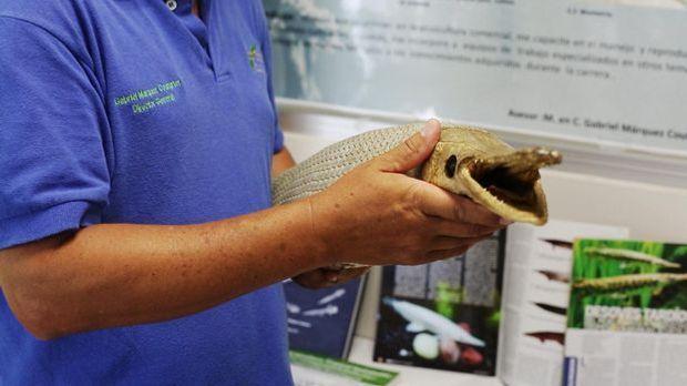 Bildergeschichte - Alligatorfisch