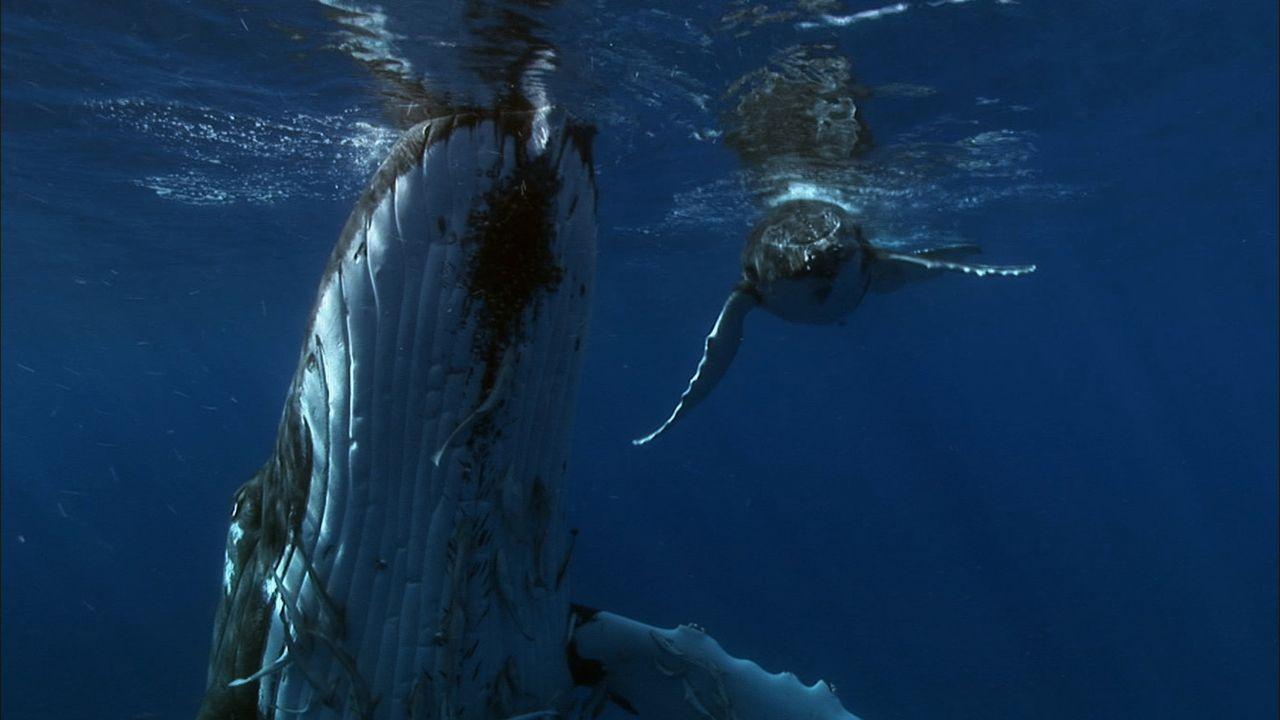 Sie muss es schaffen, ihr Jungtier sicher vom Äquator bis zur Arktis zu bringen - eine Distanz von 6000 Kilometern. Wird die Kraft der Buckelwalmut... - Bildquelle: Earth   BBC Worldwide Ltd 2007