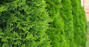 Gartengestaltung_2015_10_15_Koniferen kaufen_Bild 1_fotolia_Željko Radojko