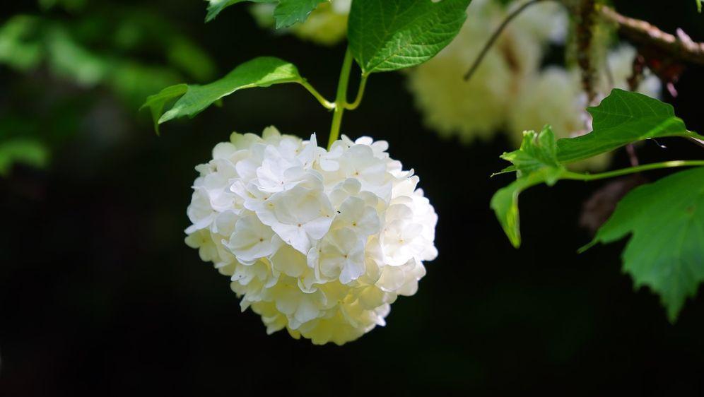Schneeball Pflanze Mit Hohem Zierfaktor Sat1 Ratgeber