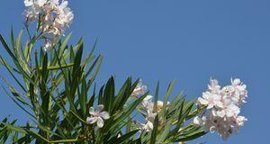 ideal f r einen sonnigen balkon bepflanzen sie diesen einfach mit oleander. Black Bedroom Furniture Sets. Home Design Ideas