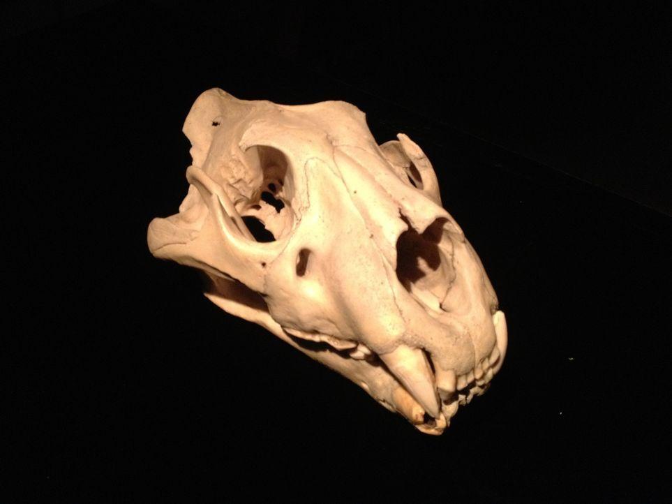 Archäologischer Fund: Don Wildman nimmt ein mysteriöses, menschenfressendes Biest aus Afrika unter die Lupe. - Bildquelle: 2012,The Travel Channel, L.L.C. All Rights Reserved