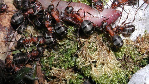 David Attenborough zeigt, wie sich eine Ameisen-Kolonie auf den Kampf gegen T...