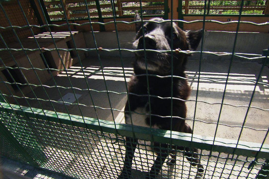 Turbo gilt als aggressiver Kettenhund und hat es nicht leicht, neue Besitzer zu finden ... - Bildquelle: Belén Ruiz Lanzas 360 Powwow, LLC / Belén Ruiz Lanzas