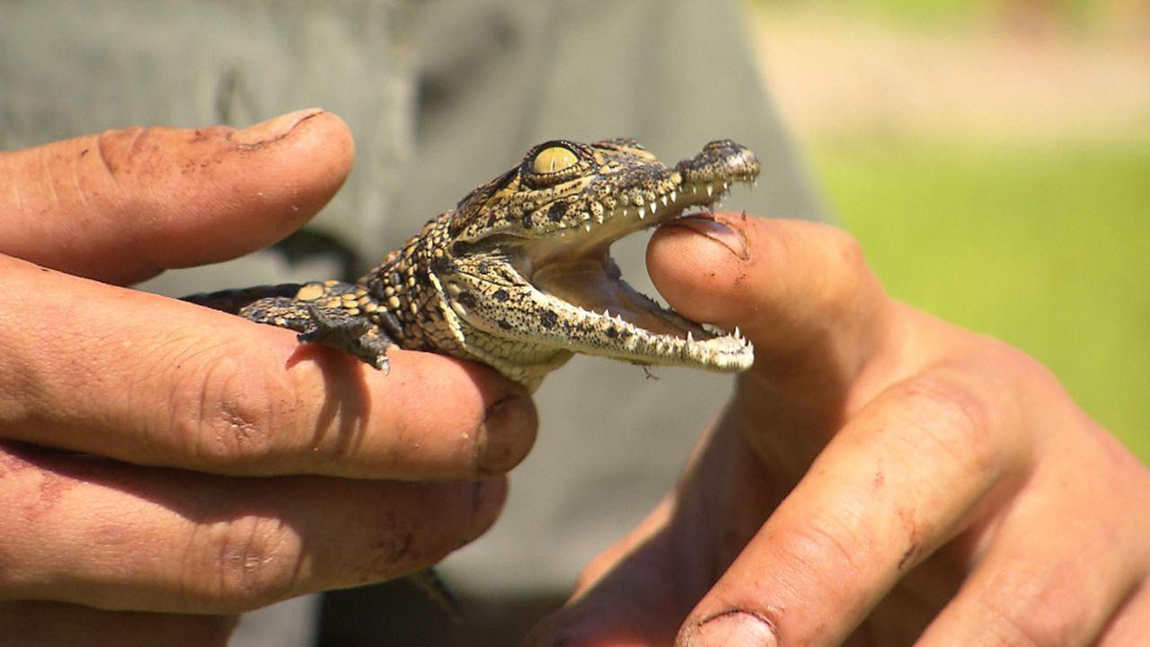 Andrea Kaiser besucht die Harnas Wildlife Foundation in Namibia und lässt sich Baby-Krokodile, kleine Leopard-Schildkröten und frisch geschlüpfte Sc... - Bildquelle: SAT.1