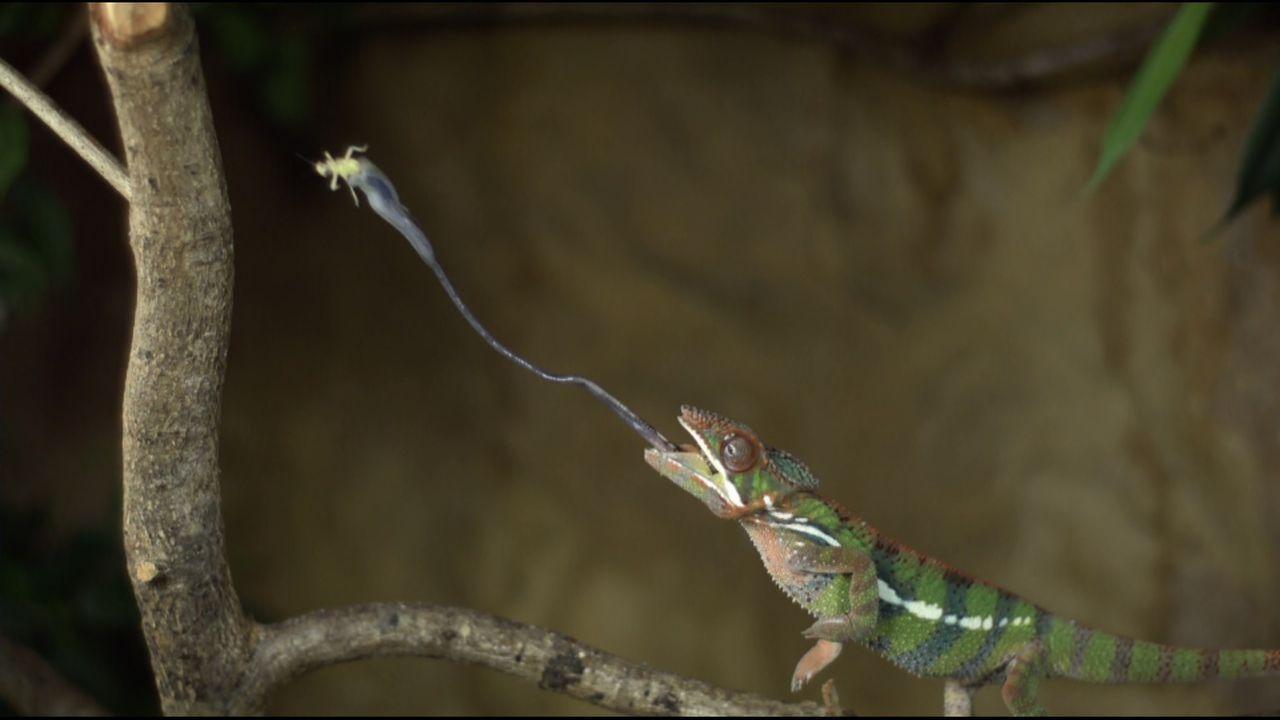 Tierphänomene in Slow Motion: ein Chamäleon auf Beutefang ... - Bildquelle: ProSieben