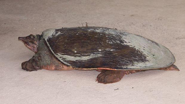 Weichschildkröte
