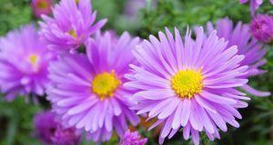 Asternsorten gibt es viele – darunter die beliebte Glattblattaster, deren Blü...
