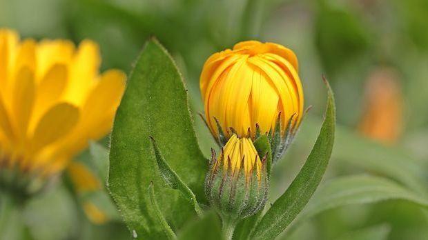 Ringelblumen schließen ihre Blüten schon um 14 Uhr. Zumindest für diese Uhrze...
