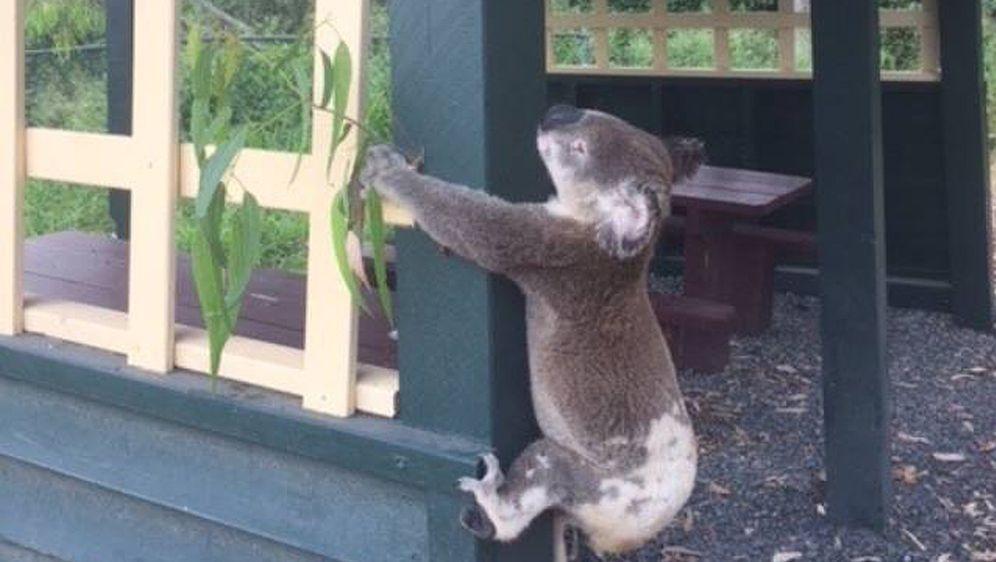 Tierquäler nageln Koala an Pfosten - Bildquelle: Koala Rescue Queensland/AAP
