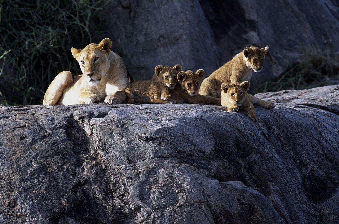 Schon bald nehmen Macheeba (l.) und ihre Sprösslinge das kleine Fiundelkind Fleck in ihrer Mitte auf ... - Bildquelle: John Downer Productions Ltd