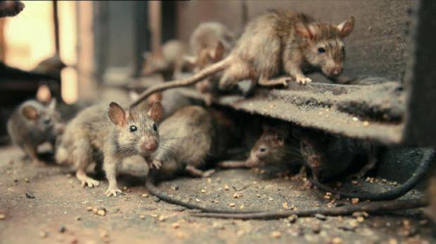 Ratten in New York City