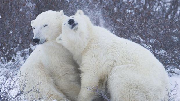 Die Eisbären fühlen sich in Kanada wohl - noch ... © Warwick Sloss BBC Worldw...