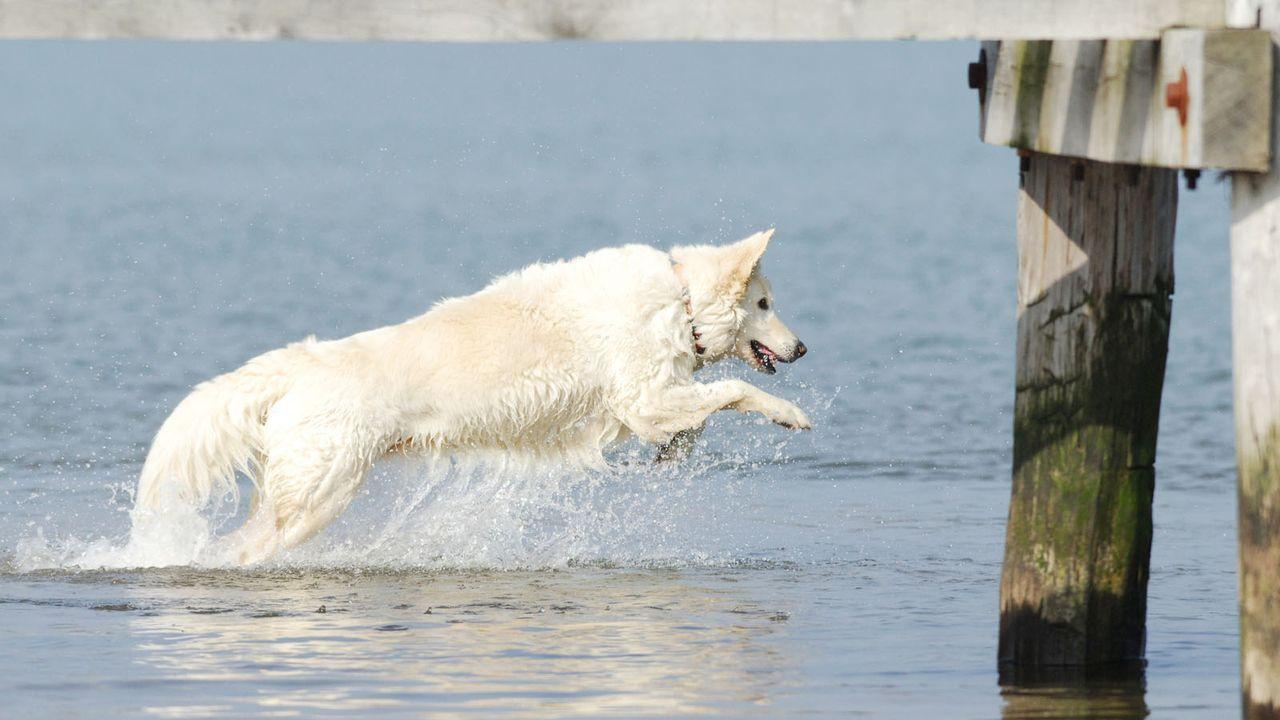 Weisser-Schaeferhund2 - Bildquelle: dpa