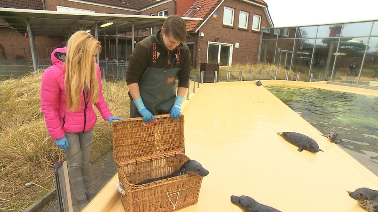 Andrea Kaiser (l.) besucht den Nationalpark Niedersächsisches Wattenmeer und ist bei der Vorbereitung zur Auswilderung eines kleinen Heulers dabei .... - Bildquelle: SAT.1