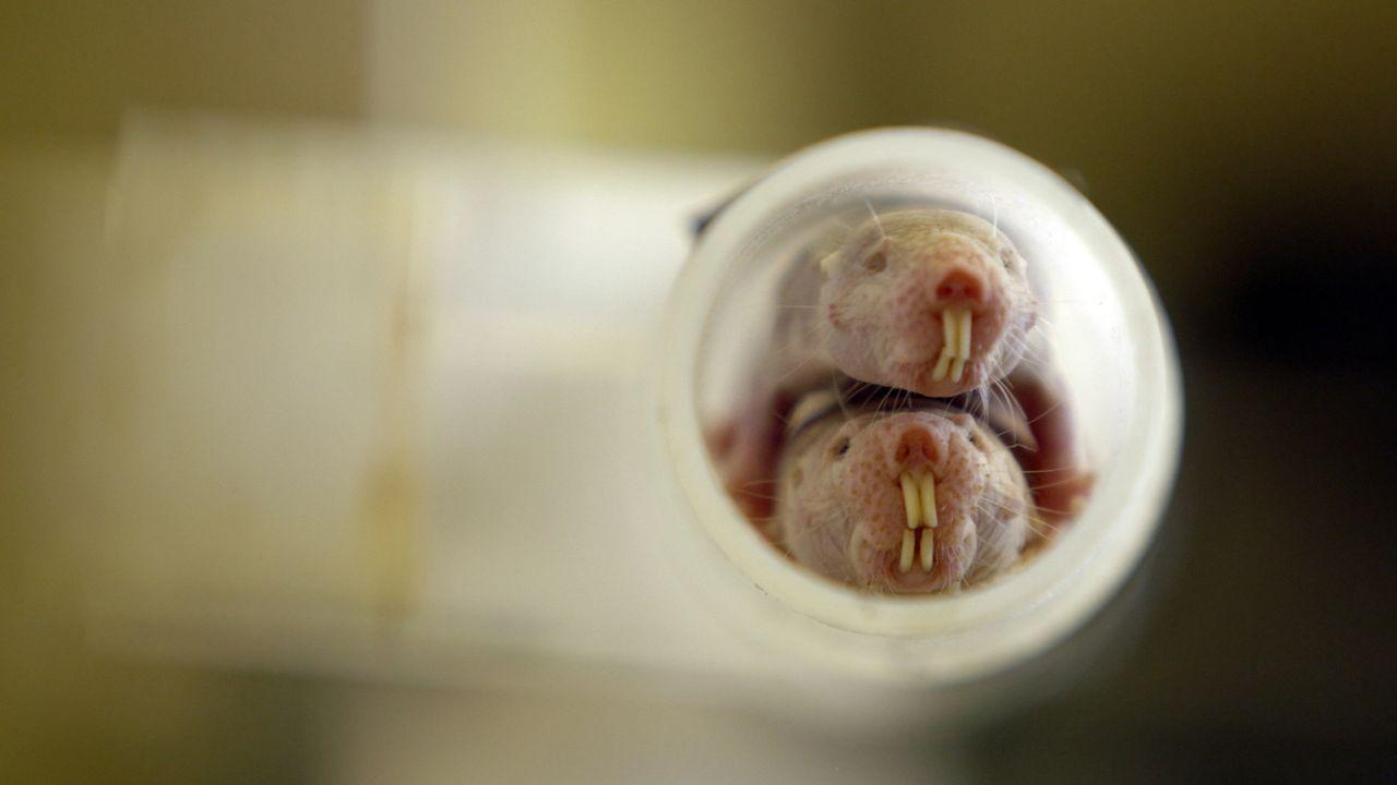 Die unglaubliche Welt der nackten Maulwurf-Ratte (Heterocephalus Glaber). - Bildquelle: BBC 2015